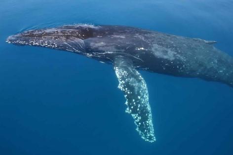 Hervey Bay Whale Watching - Wale gehören hier zur Hauptattraktion