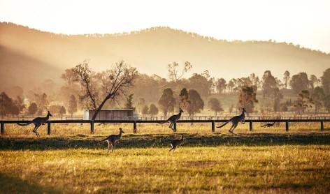 Kängurus bei Sonnenaufgang - Hunter Valley ist nicht nur was für Weinkenner!