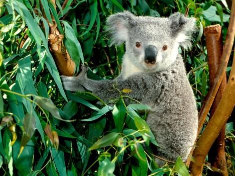 Besuche das kostenfreie Koalakrankenhaus