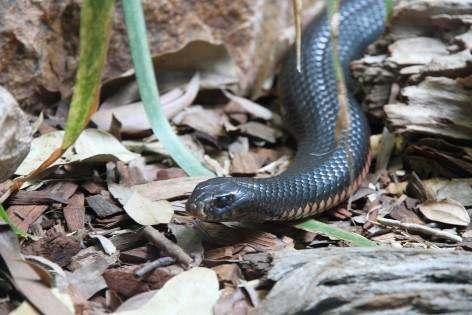 Der Inlandtaipan ist die giftigste Schlange der Welt