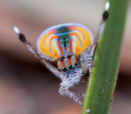 Männliche Peacock Spider By Jurgen Otto, CC BY-SA 2.0, https://commons.wikimedia.org/w/index.php?curid=31209998