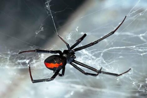 Travelwheels Campervanvermietung warnt - Giftige Tiere in Australien: Redback-Spider