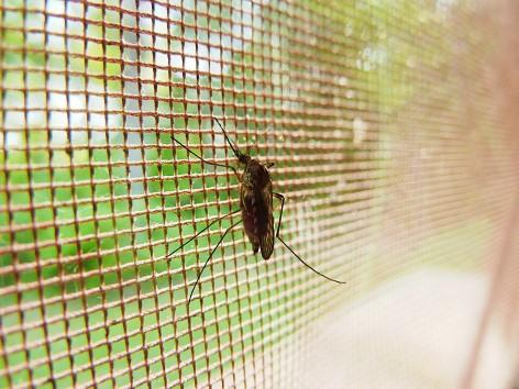 Mücken können das Ross-River-Fieber übertragen