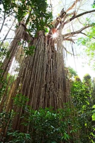 Atherton Tablelands Curtain Fig Tree - Die Würgefeige