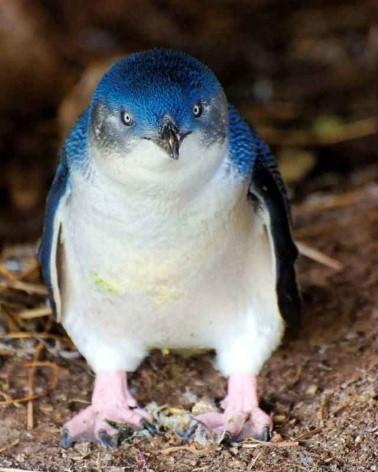 Die kleinsten Pinguine der Welt findest du im Phillip Island Nature Park