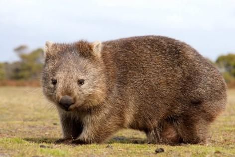Wombats gehören zu den bekanntesten Tieren Australiens