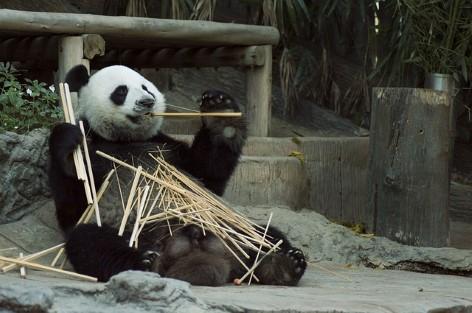 Die einzigen Pandabären in der südlichen Hemisphäre