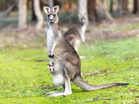 Sind sie nicht süß, die flauschigen Australier?