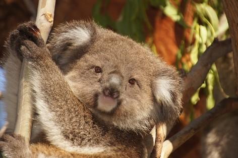 Koala können in der Nähe von Kennett River beobachtet werden