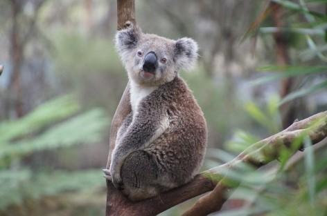 Miete einen Campervan und besuche die Koala