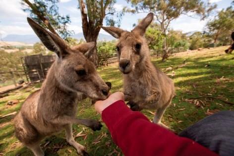 Besuche die süßen Kängurus mit dem Travelwheels Campervan
