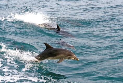 Phillip Island Routenplaner: Schwimmen mit Delfinen