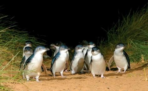 Zwergpinguine - Die kleinsten ihrer Art findest du auf Phillip Island