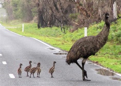 Besuche die riesigen Emus