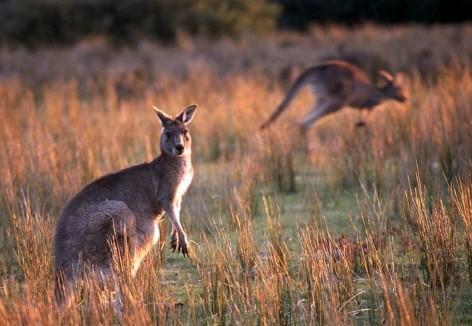 Kängurus nahe Cotters Lake im Wilsons Promontory Nationalpark