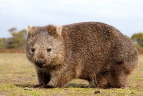Der Wombat wird 70-120cm groß